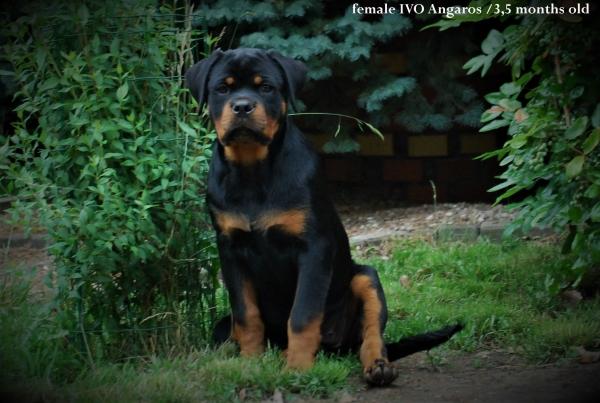 Rottweiler - Hodowla Rottweilerów ANGAROS
