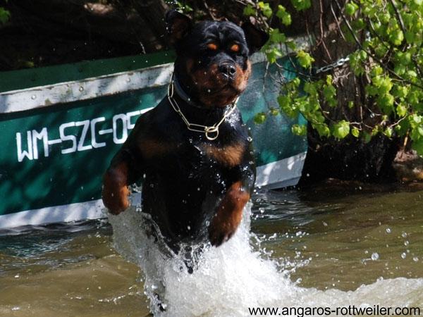 PERSI vom Hause Edelstein (FARIDON Crni Lotos x FARINA vom Hause Edelstein)/ Rottweiler Angaros/Rottweilers Angaros kennel
