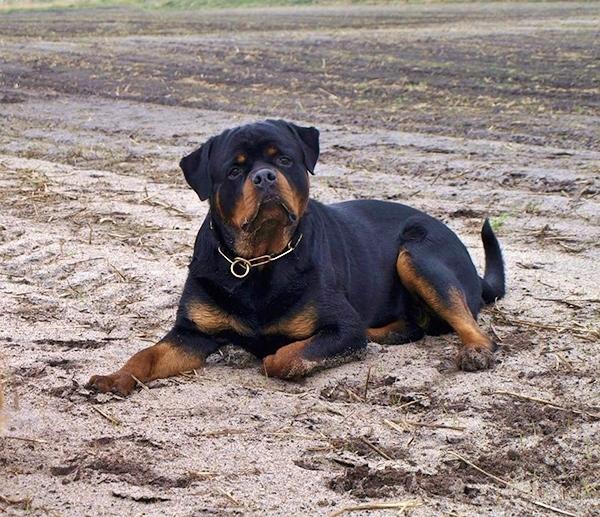 DIESEL Angaros | Rottweiler - Hodowla Rottweilerów Angaros - Rottweilers - Rottweilery