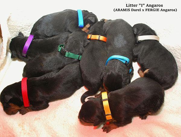 Mamy szczenięta! | Rottweiler - Hodowla Rottweilerów Angaros - Rottweilers - Rottweilery