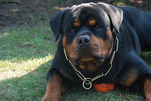 PERSI vom Hause Edelstein | Rottweiler - Hodowla Rottweilerów Angaros - Rottweilers - Rottweilery
