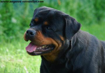 FERGIE Angaros | Rottweiler - Hodowla Rottweilerów Angaros - Rottweilers - Rottweilery