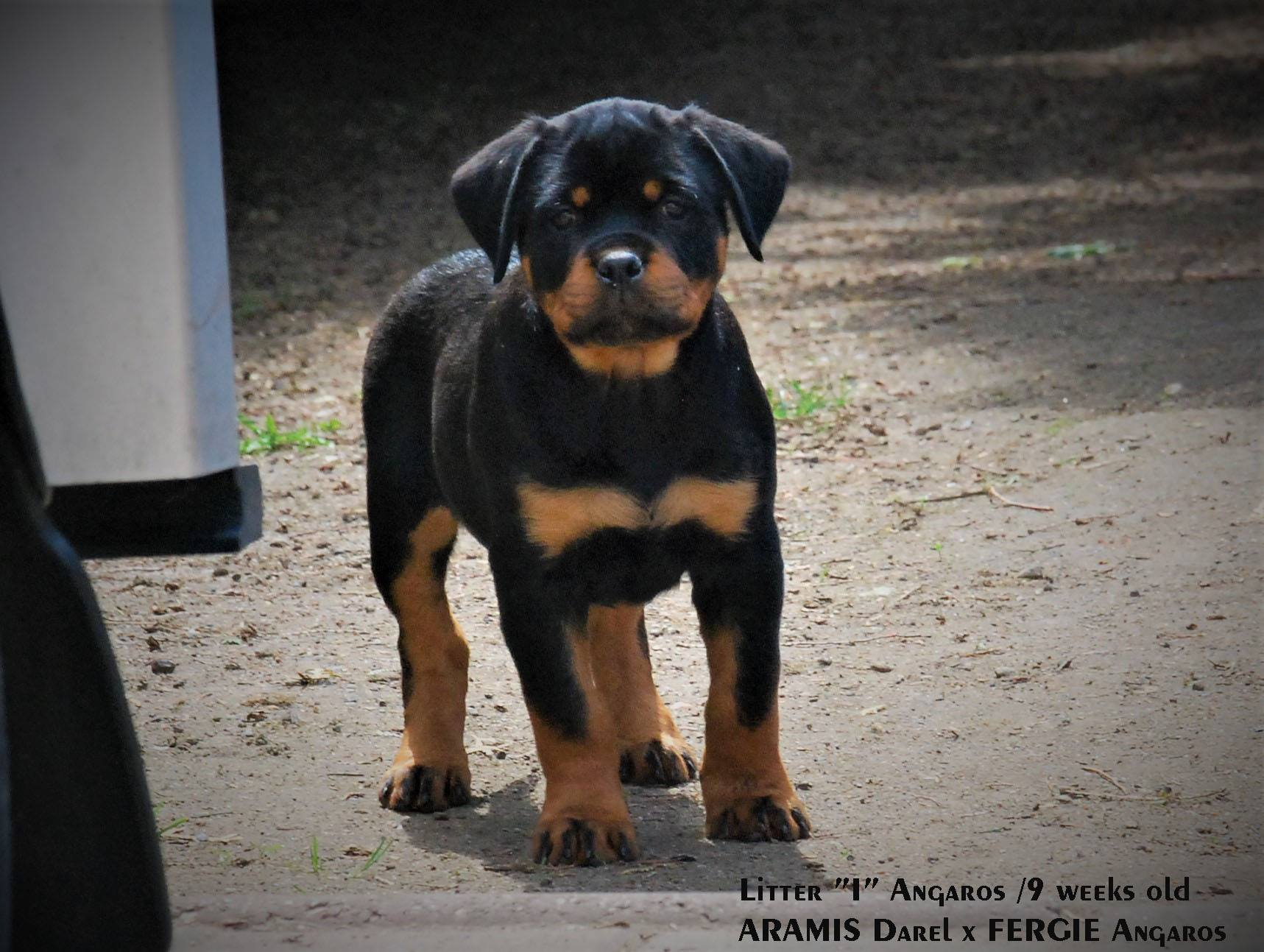 IVO | Rottweiler - Hodowla Rottweilerów Angaros - Rottweilers - Rottweilery