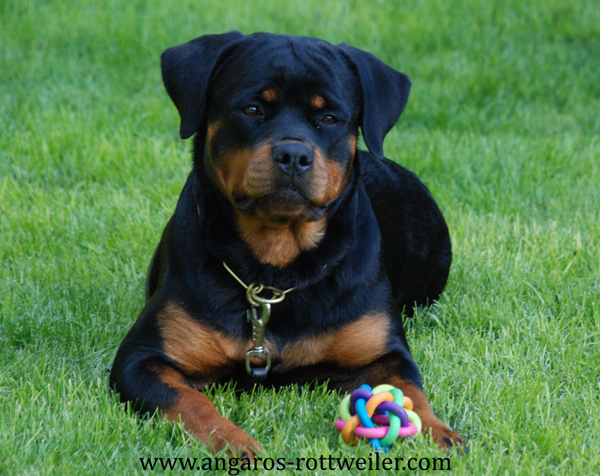 REINA vom Hause Edelstein | Rottweiler - Hodowla Rottweilerów Angaros - Rottweilers - Rottweilery