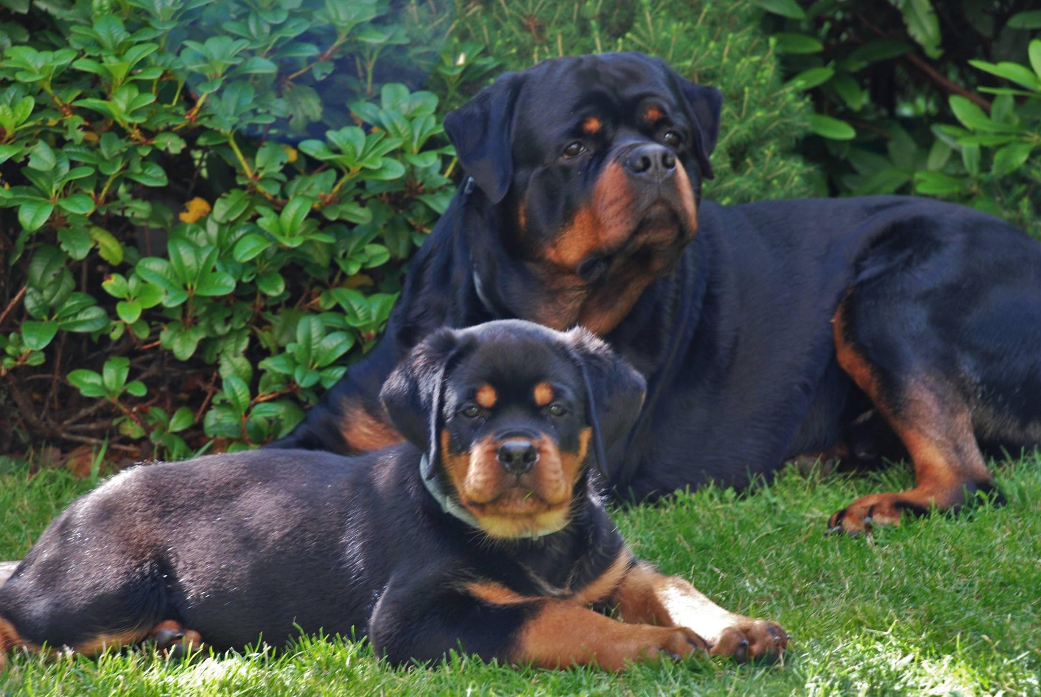 Kolejny tydzień i następne sukcesy rottweilerów ANGAROS! | Rottweiler - Hodowla Rottweilerów Angaros - Rottweilers - Rottweilery