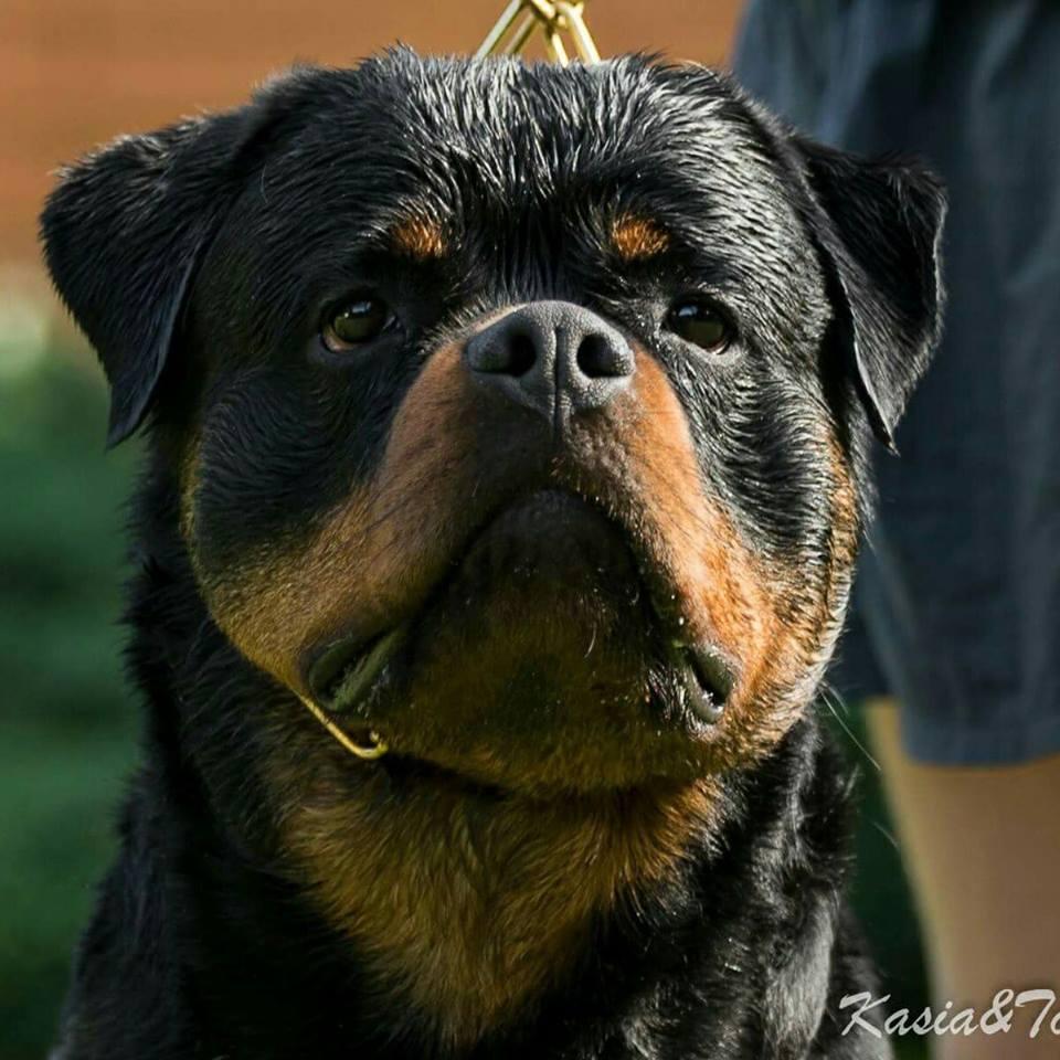 DIESEL Angaros Zwycięzcą SALZLANDSCHAU 2018 !!! | Rottweiler - Hodowla Rottweilerów Angaros - Rottweilers - Rottweilery