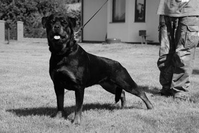 MAXI Marstal | Rottweiler - Hodowla Rottweilerów Angaros - Rottweilers - Rottweilery