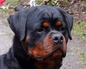 KRIS Klaid | Rottweiler - Hodowla Rottweilerów Angaros - Rottweilers - Rottweilery