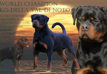 VIKKO Della Val di Noto | Rottweiler - Hodowla Rottweilerów Angaros - Rottweilers - Rottweilery