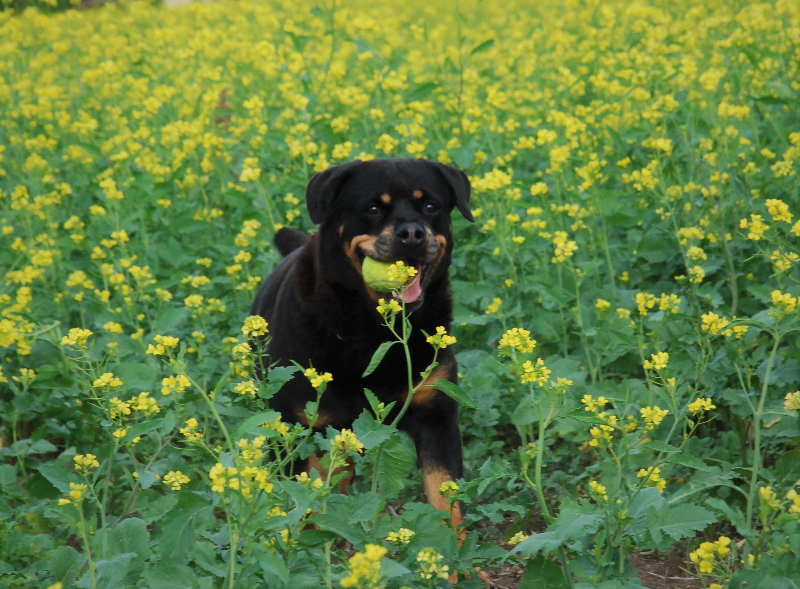 Szczęśliwa 10,5 letnia Dusia podczas jesiennego spacerku | Rottweiler - Hodowla Rottweilerów Angaros - Rottweilers - Rottweilery