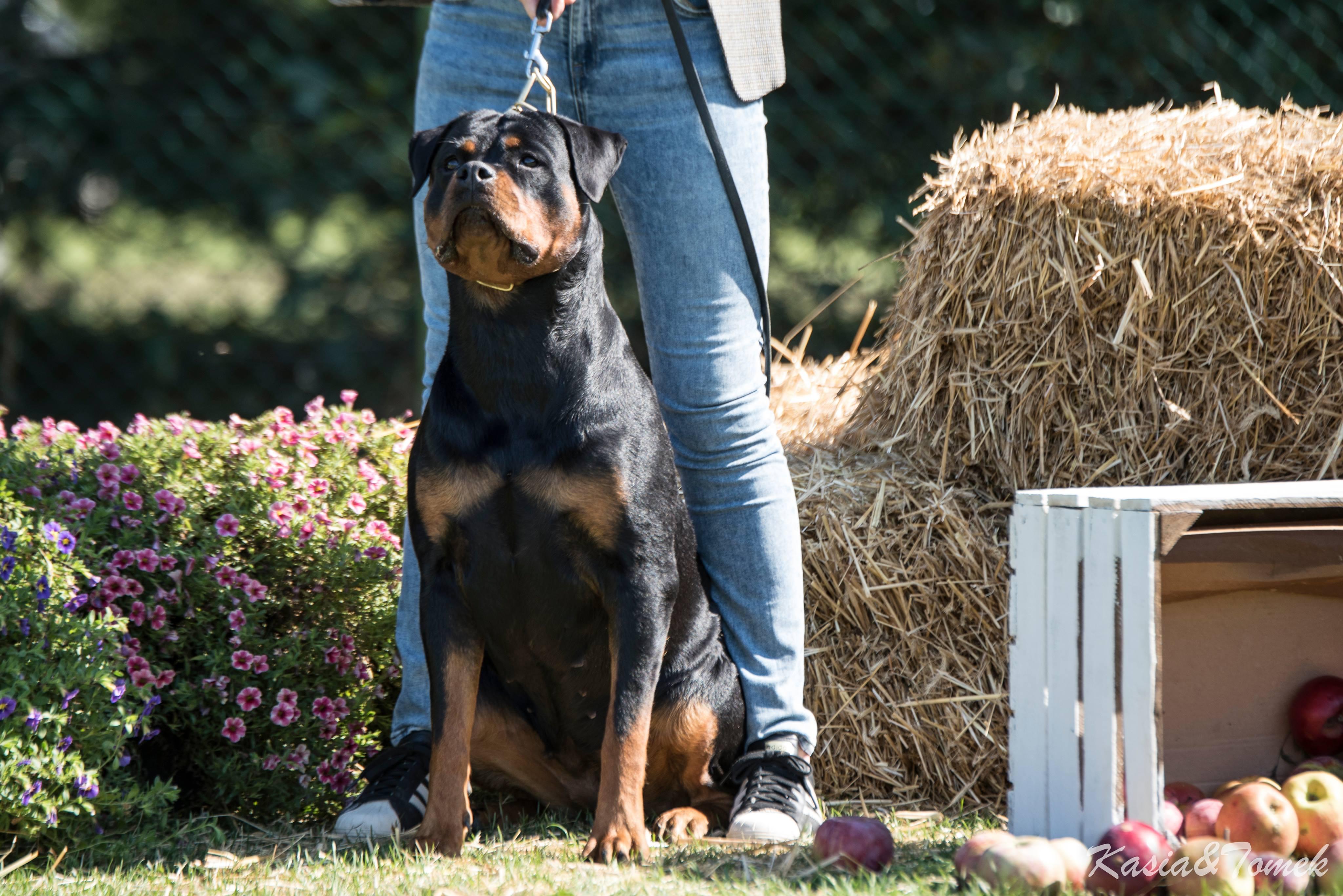 GINA Angaros Najlepszym Rottweilerem Krajowej Wystawy Psów Rasowych w Łodzi! | Rottweiler - Hodowla Rottweilerów Angaros - Rottweilers - Rottweilery