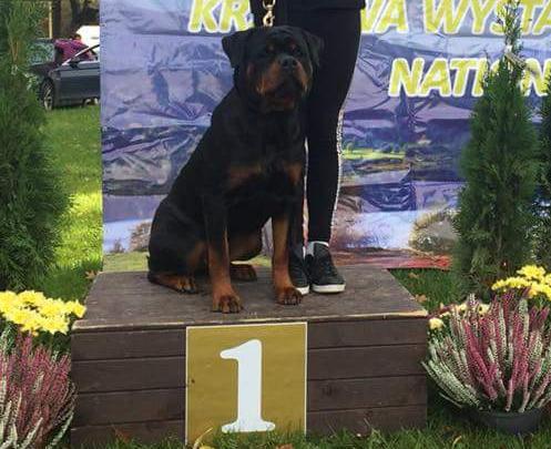 GERIS Angaros Zwycięzcą Płci Przeciwnej Krajowej Wystawy Psów Rasowych w Jeleniej Górze ! | Rottweiler - Hodowla Rottweilerów Angaros - Rottweilers - Rottweilery