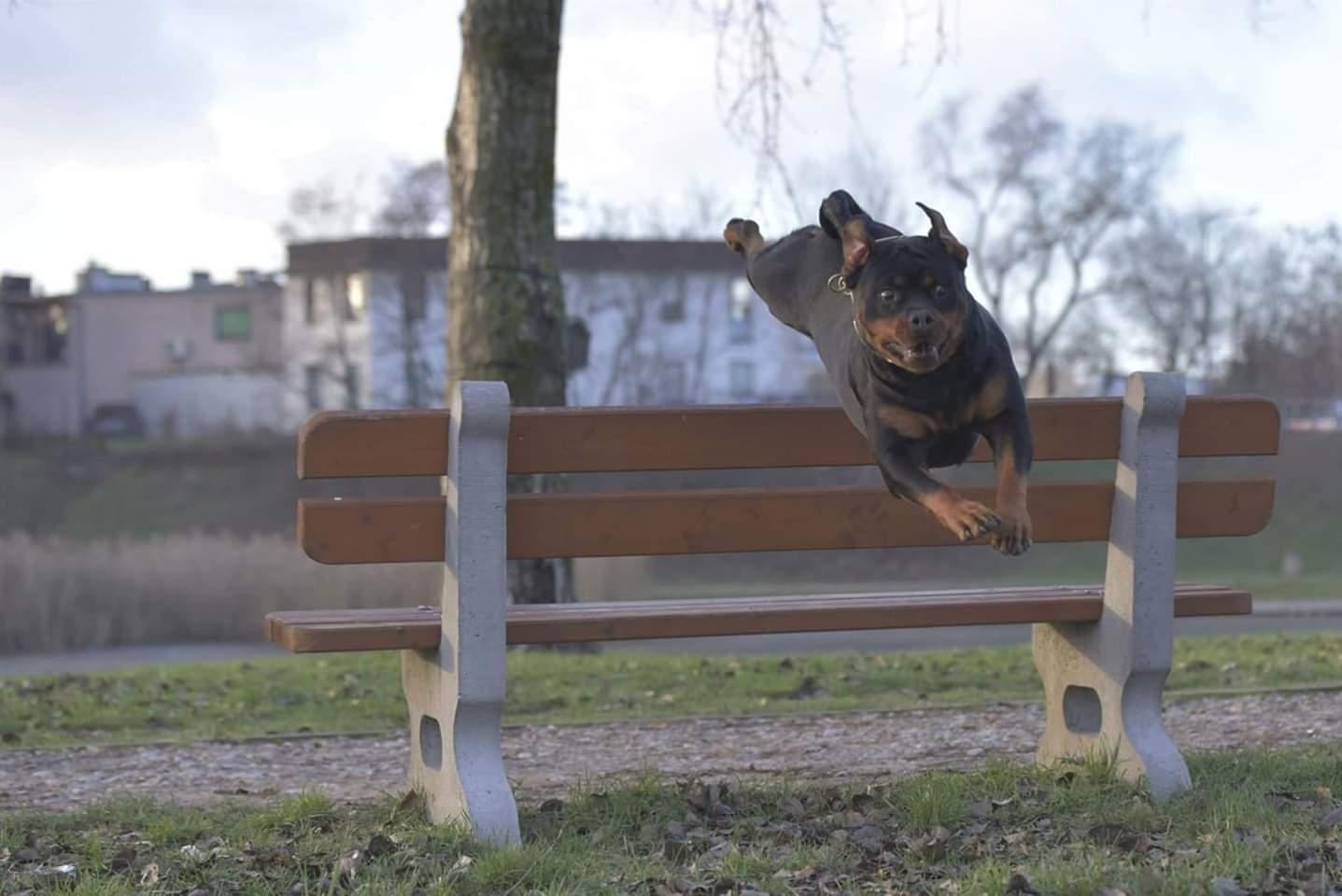 GINA Angaros całkowicie wolna od dysplazji stawów biodrowych i łokciowych! | Rottweiler - Hodowla Rottweilerów Angaros - Rottweilers - Rottweilery