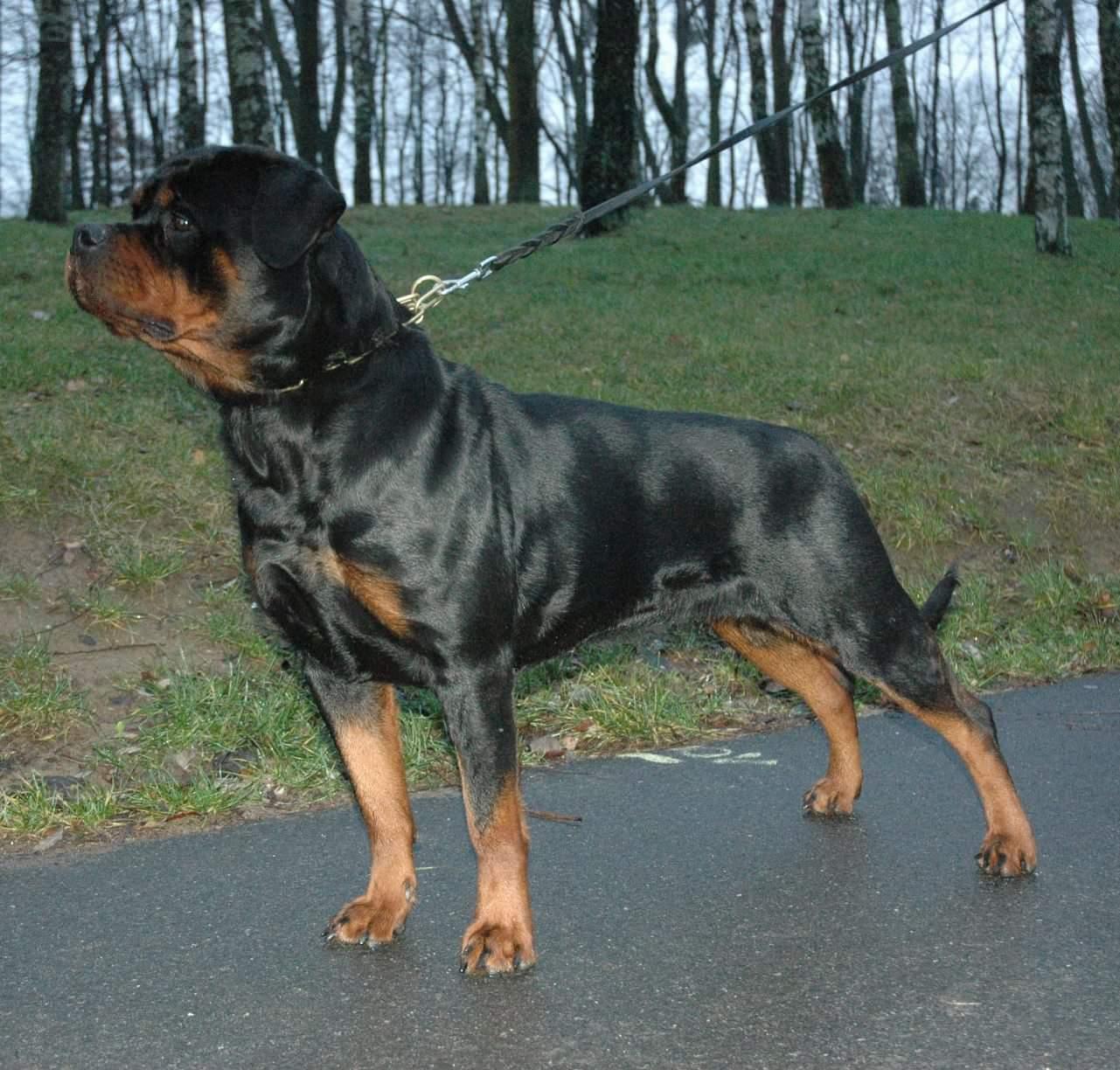Fantastyczny początek roku! Kolejny rottweiler z przydomkiem Angaros CHAMPIONEM  POLSKI !!! | Rottweiler - Hodowla Rottweilerów Angaros - Rottweilers - Rottweilery