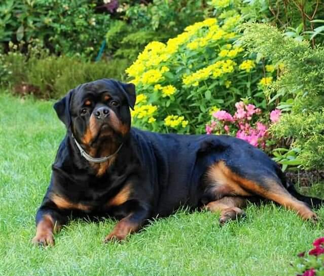 Już oficjalnie! DIESEL Angaros pierwszym rottweilerem samcem w historii rasy w Polsce z tytułem CHAMPIONA NIEMIEC ADRK !!! | Rottweiler - Hodowla Rottweilerów Angaros - Rottweilers - Rottweilery