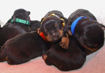 Miot M | Rottweiler - Hodowla Rottweilerów Angaros - Rottweilers - Rottweilery