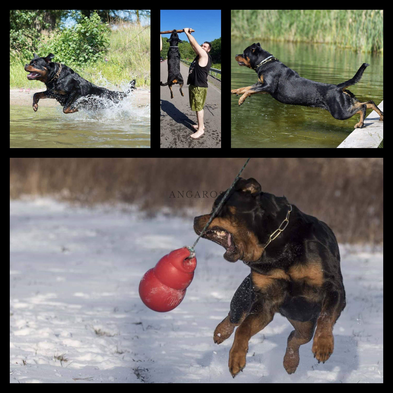 IRMINA Angaros całkowicie wolna od dysplazji stawów biodrowych i łokciowych (HD- A, ED 0/0) !!! | Rottweiler - Hodowla Rottweilerów Angaros - Rottweilers - Rottweilery