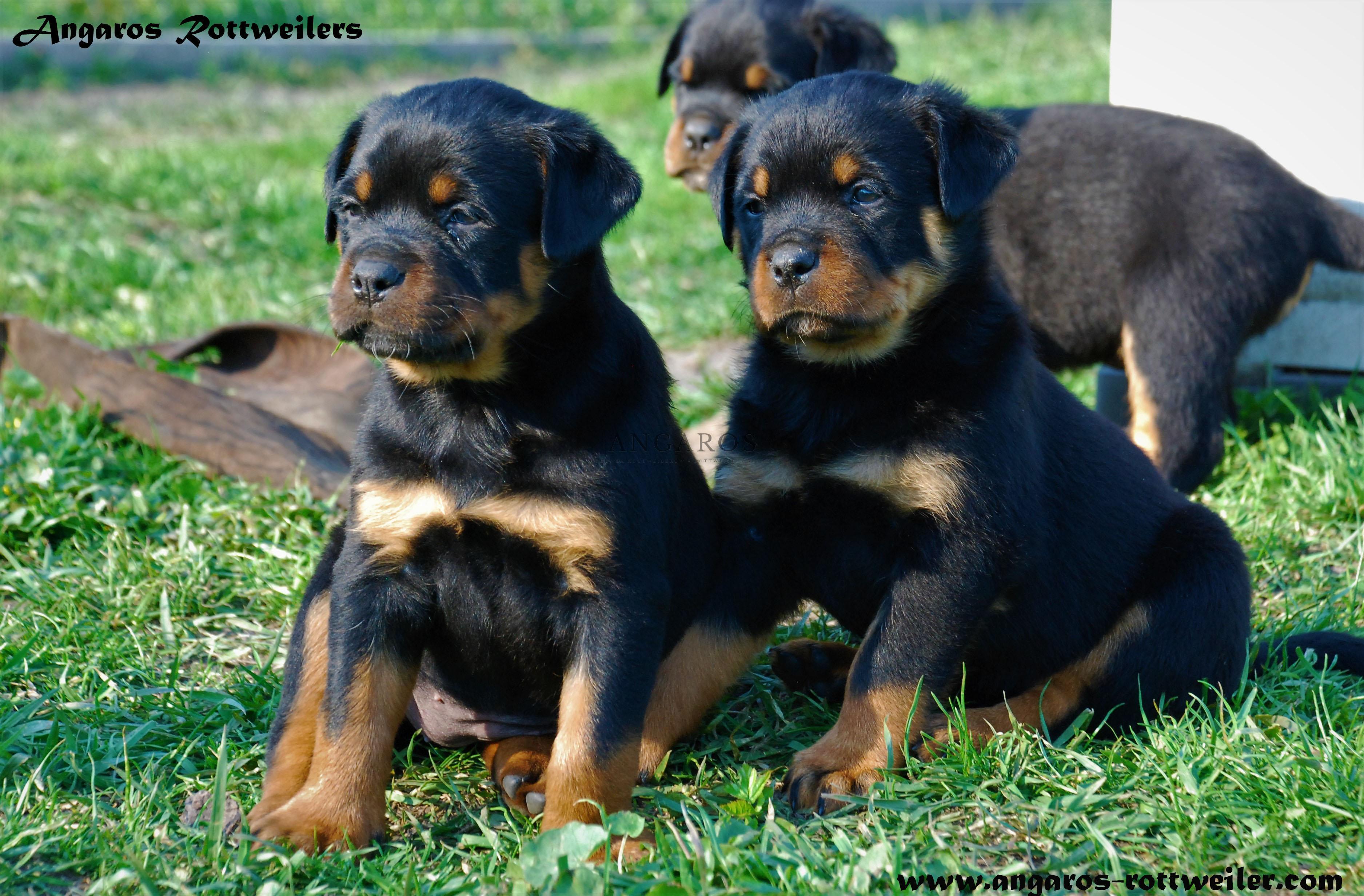 Małe Rottweilery ANGAROS podczas pierwszych zabaw w ogrodzie :) | Rottweiler - Hodowla Rottweilerów Angaros - Rottweilers - Rottweilery