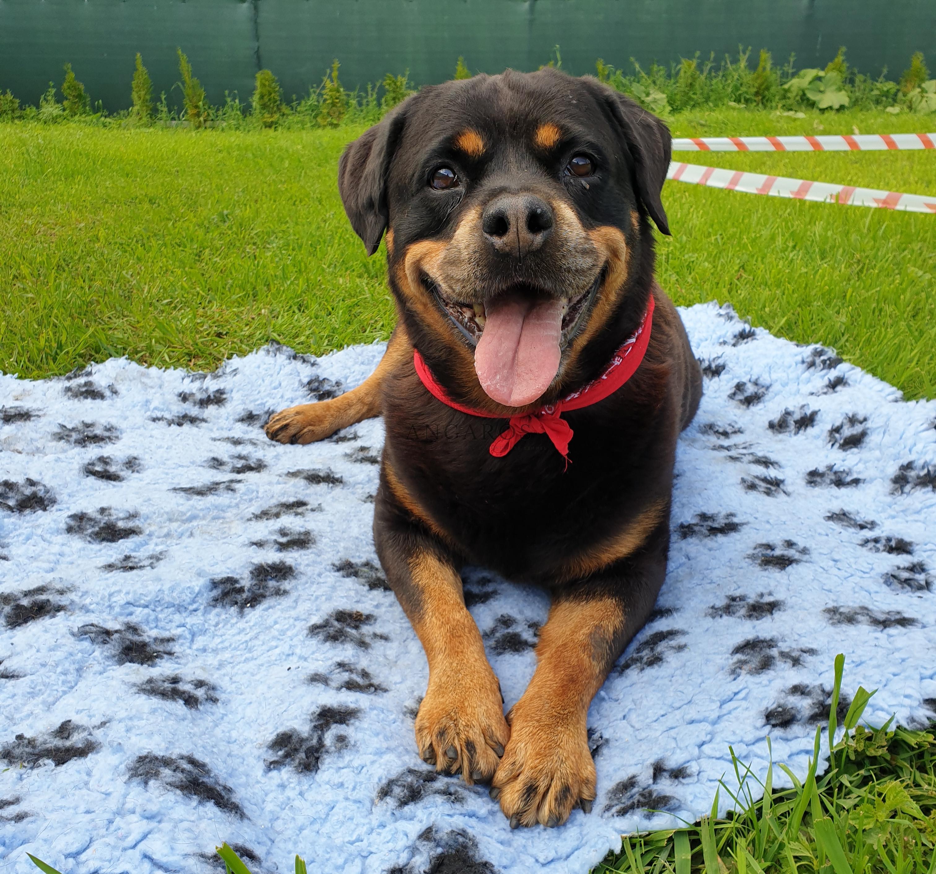 W dniu dzisiejszym moja ukochana Dusieńka (DAMA vom Hause Haase) skończyła 11 lat !!! | Rottweiler - Hodowla Rottweilerów Angaros - Rottweilers - Rottweilery