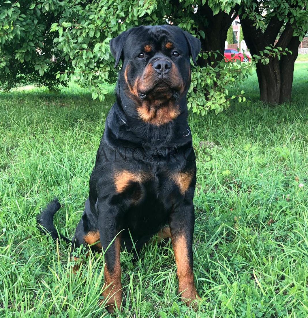 Świetne wieści od właściciela IMPERATORA Angaros ! | Rottweiler - Hodowla Rottweilerów Angaros - Rottweilers - Rottweilery