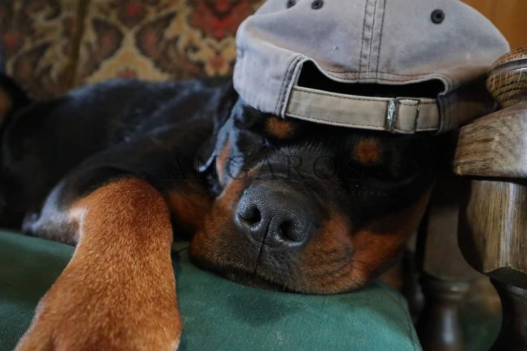 ZARA Angaros życzy miłego weekendu :-) | Rottweiler - Hodowla Rottweilerów Angaros - Rottweilers - Rottweilery
