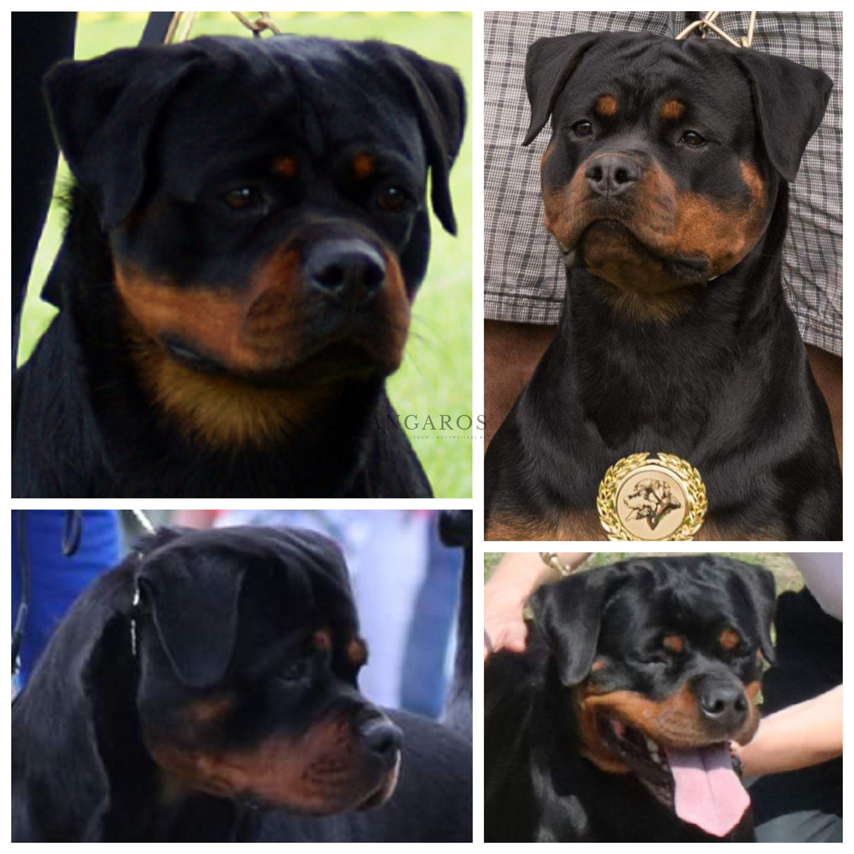 Fantastyczny weekend dla rottweilerów ANGAROS! | Rottweiler - Hodowla Rottweilerów Angaros - Rottweilers - Rottweilery