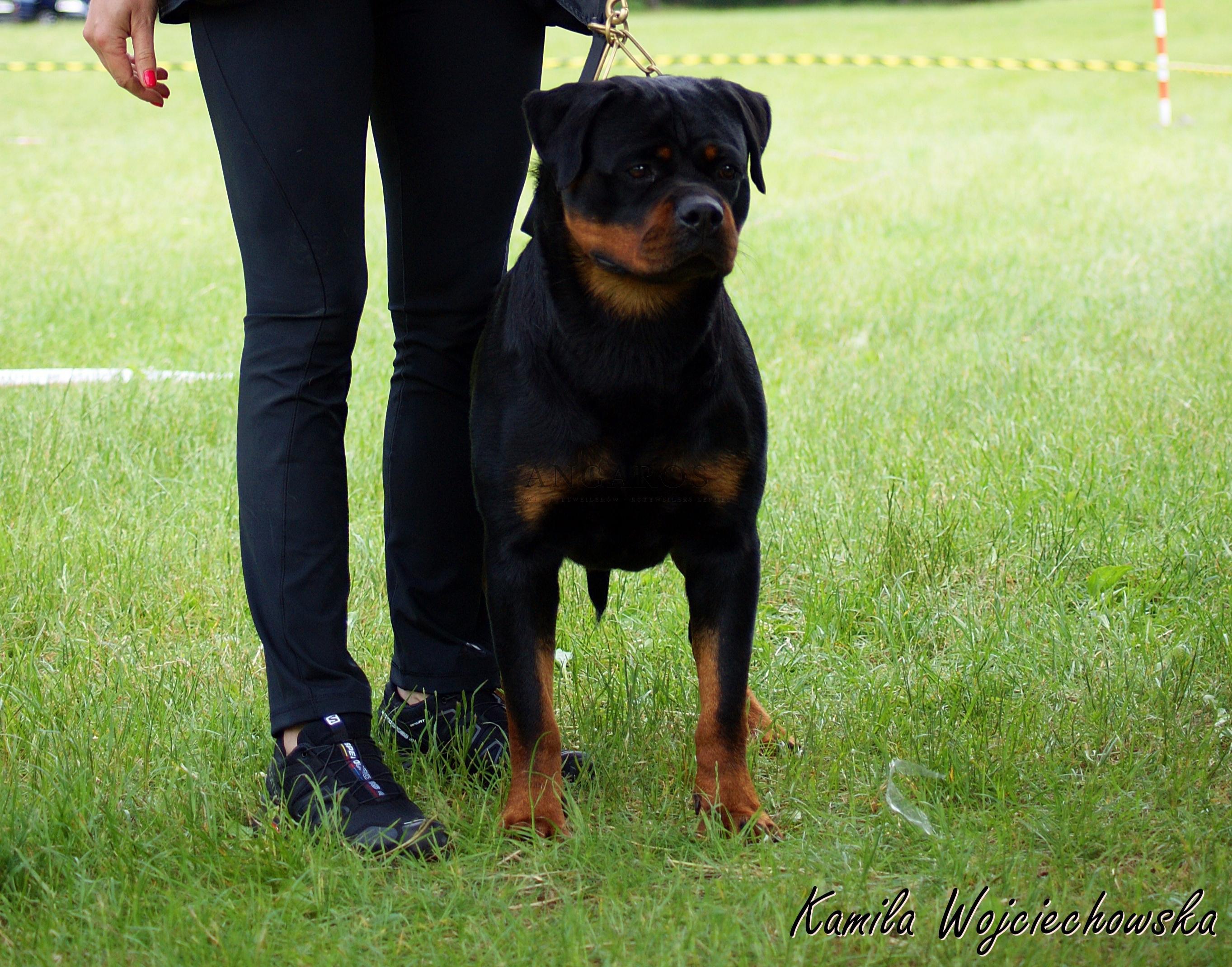 MERCEDES FOR ANGAROS Darel | Rottweiler - Hodowla Rottweilerów Angaros - Rottweilers - Rottweilery