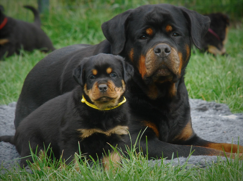 FARINA Angaros – piękna i niesamowita mama, nawet na chwilę nie spuszcza swoich dzieci z oczu.. | Rottweiler - Hodowla Rottweilerów Angaros - Rottweilers - Rottweilery