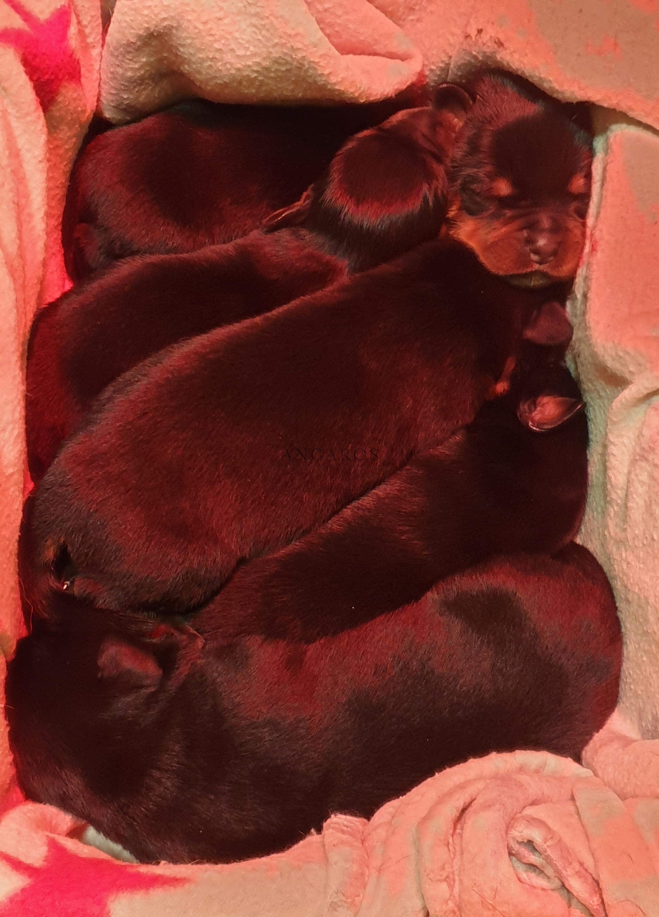 Mamy szczenięta !!! | Rottweiler - Hodowla Rottweilerów Angaros - Rottweilers - Rottweilery
