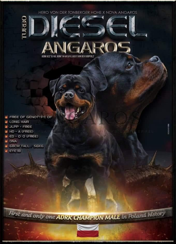 Wspaniała wiadomość! Już niebawem za oceanem urodzą się dzieci DIESLA Angaros, wnuki NOVEJ Angaros, prawnuki mojej ukochanej MAXI Marstal !!! | Rottweiler - Hodowla Rottweilerów Angaros - Rottweilers - Rottweilery