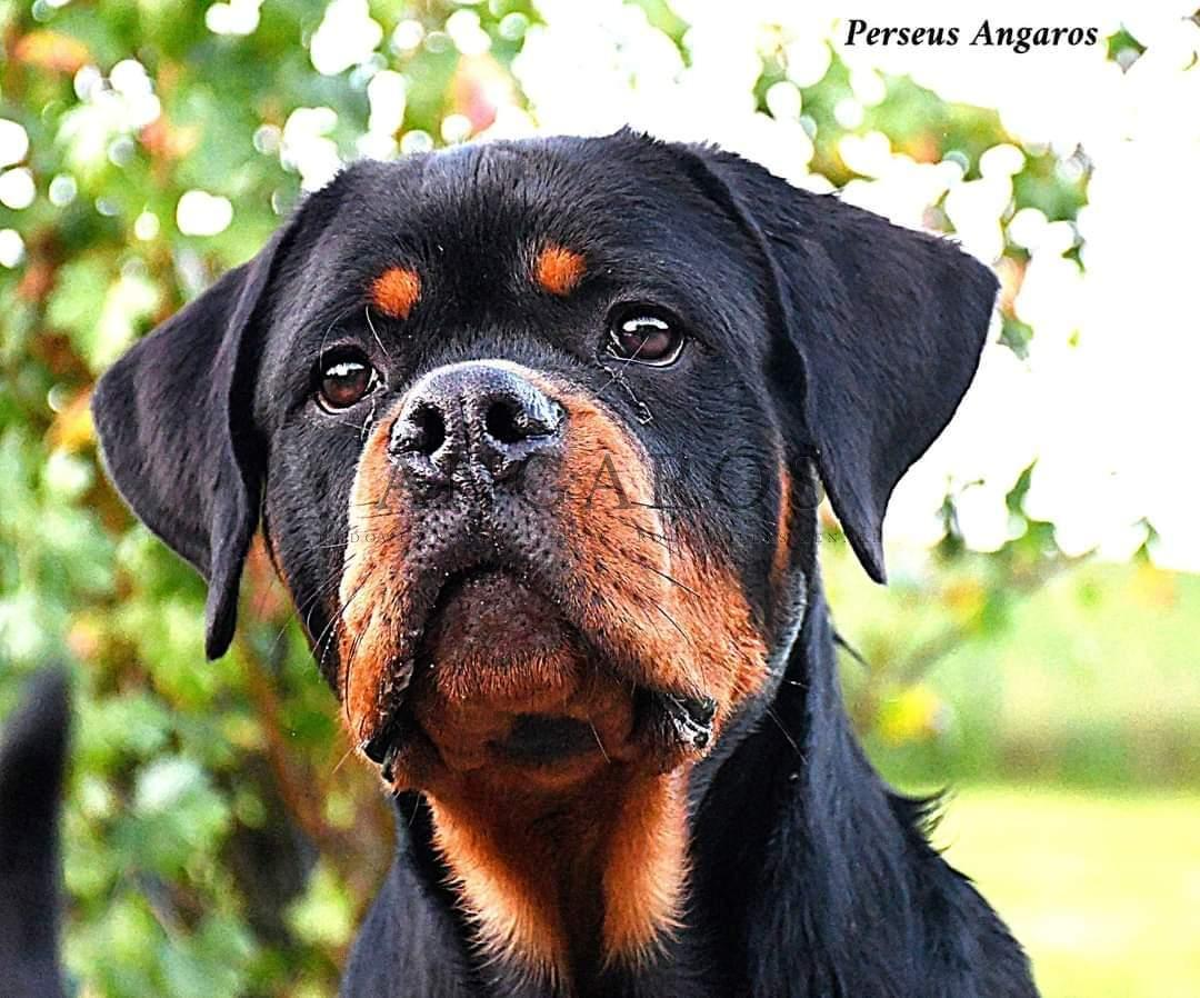 Wspaniały debiut wystawowy PERSEUSA Angaros na Krajowej Wystawie Psow Rasowych w Mláda Bolesłav w Czechach! | Rottweiler - Hodowla Rottweilerów Angaros - Rottweilers - Rottweilery