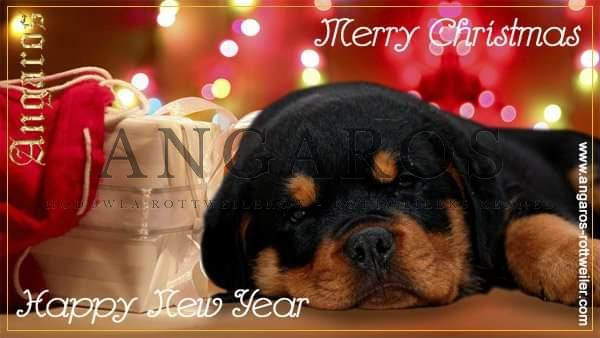 Najserdeczniejsze życzenia szczęśliwych i radosnych Świąt Bożego Narodzenia oraz wszelkiej pomyślności i sukcesów w nadchodzącym 2021 roku! Wszystkim sympatykom rasy życzy hodowla Angaros ! | Rottweiler - Hodowla Rottweilerów Angaros - Rottweilers - Rottweilery