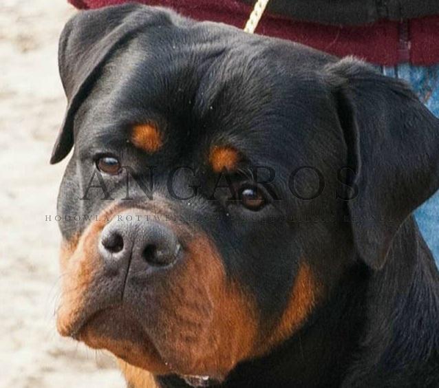 Wraz z przybyciem wiosny otrzymaliśmy od właścicieli Angarosów świetne wiadomości! | Rottweiler - Hodowla Rottweilerów Angaros - Rottweilers - Rottweilery