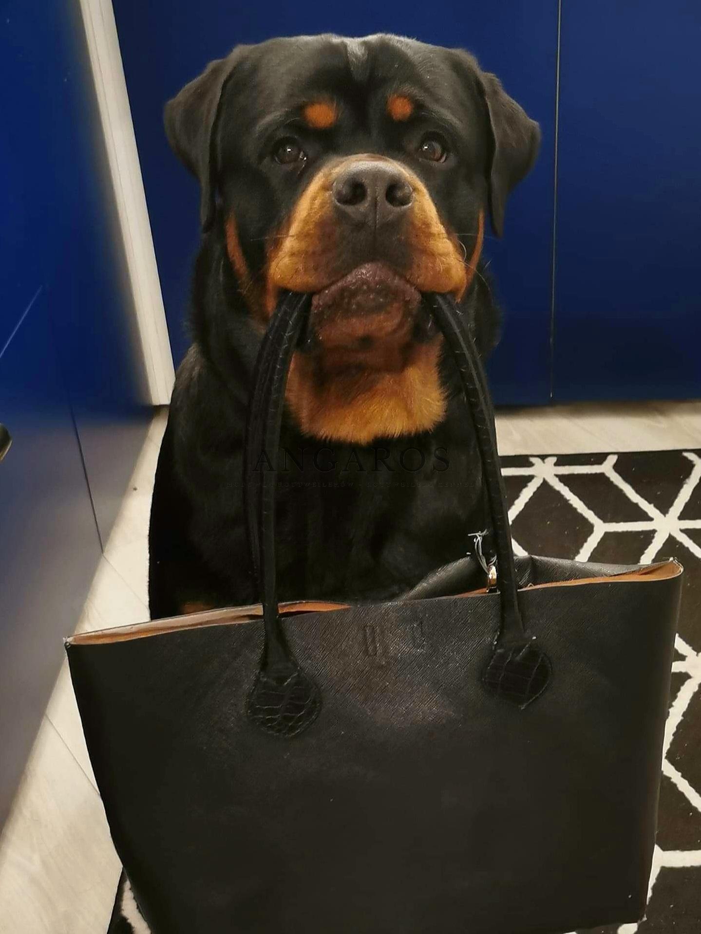 ROTTWEILER pies wielozadaniowy. W roli modela PUERTO RICO Angaros w wieku 12 miesięcy | Rottweiler - Hodowla Rottweilerów Angaros - Rottweilers - Rottweilery