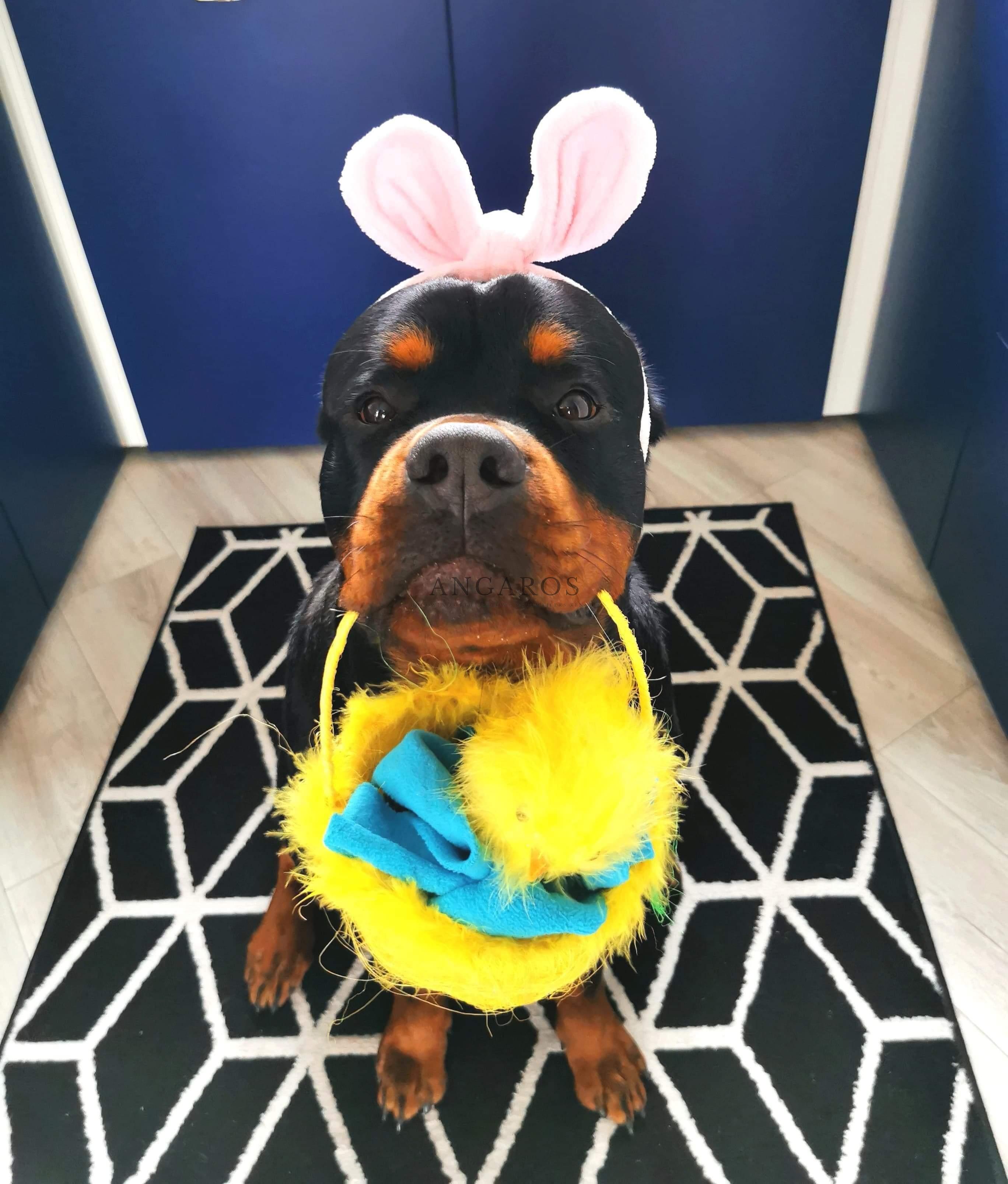 Wszystkim sympatykom, a także miłośnikom rasy rottweiler życzymy Wesołych Świąt! | Rottweiler - Hodowla Rottweilerów Angaros - Rottweilers - Rottweilery