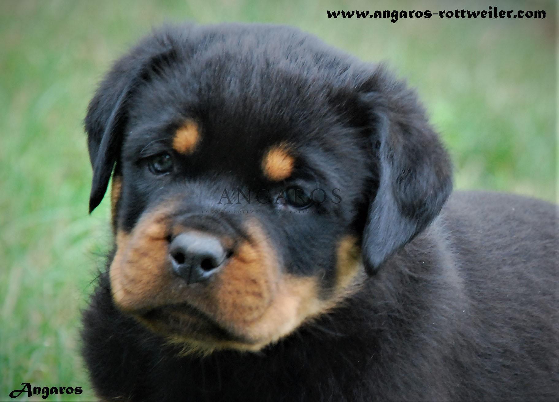 Dostępny piesek! RONALDO Angaros – 9 tygodni | Rottweiler - Hodowla Rottweilerów Angaros - Rottweilers - Rottweilery